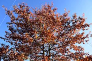 Arbre aux couleurs automnales dans le parc de l'Arboretum