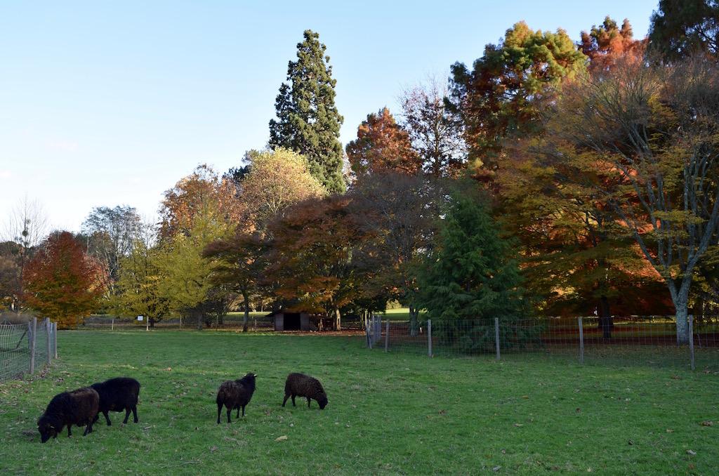 Moutons du parc de l'Arboretum