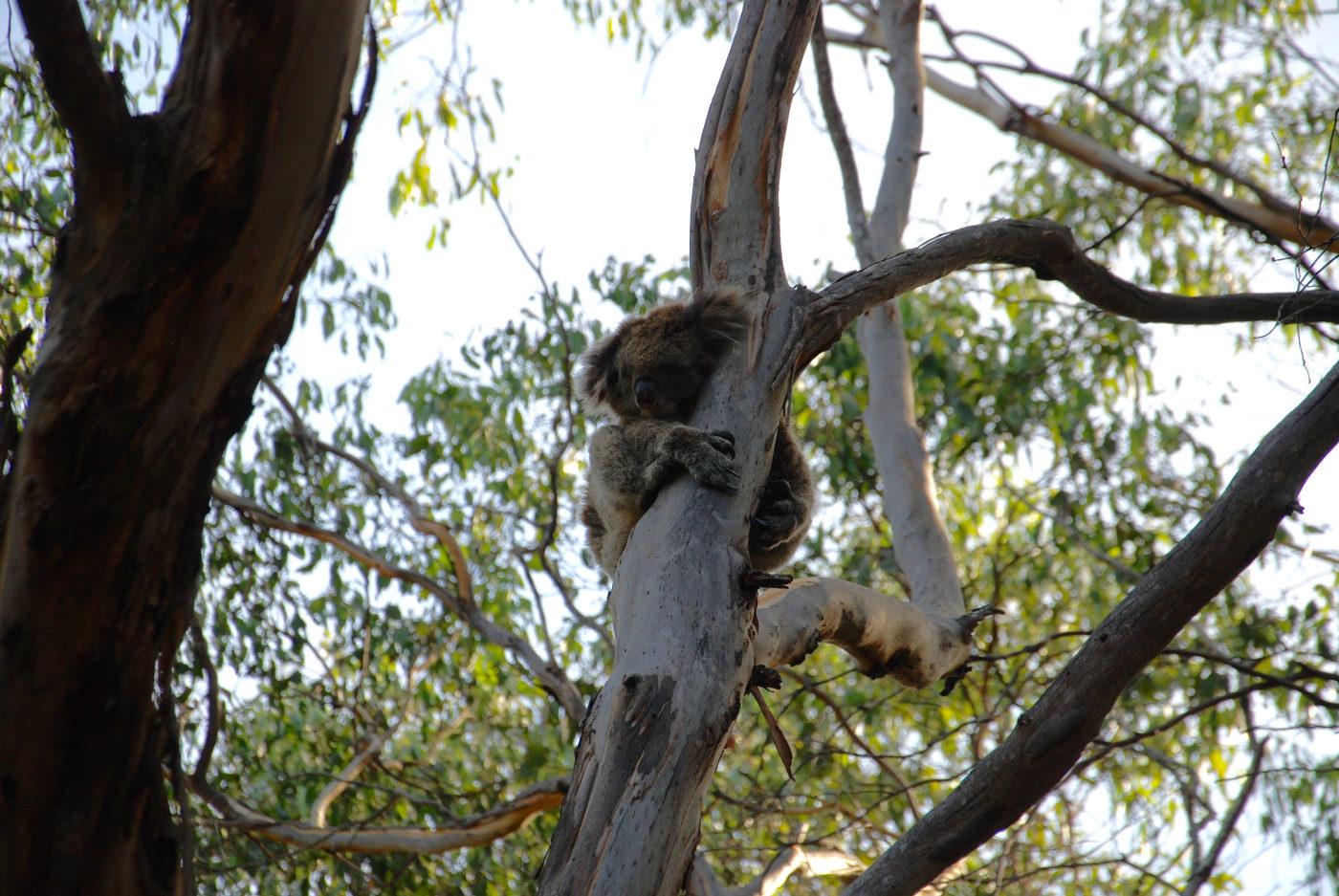 Un koala dans le Flinder Chase National Park