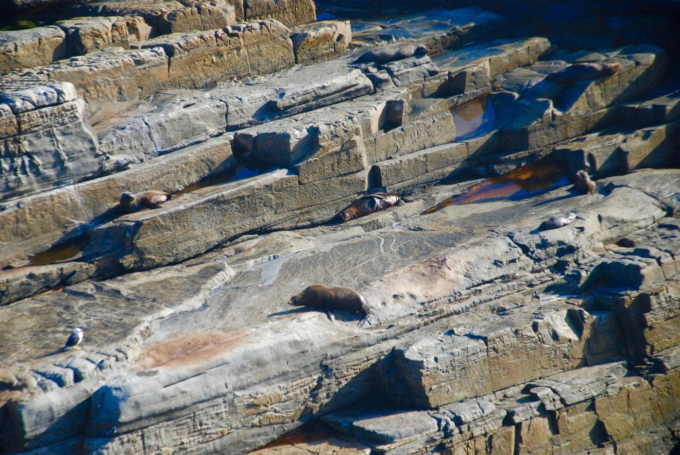 Lion de mer sur des rochers à Kangaroo Island