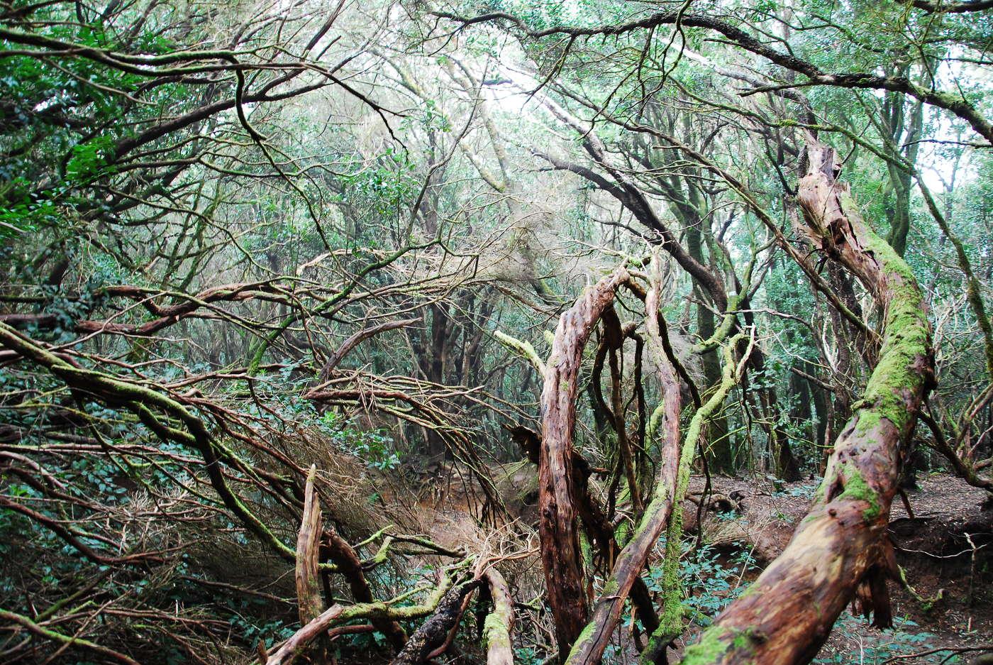 Forêt de Anaga