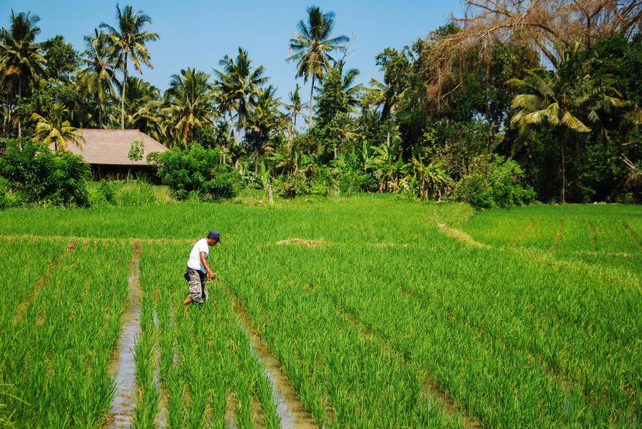 Découvrir les rizières d'Ubud